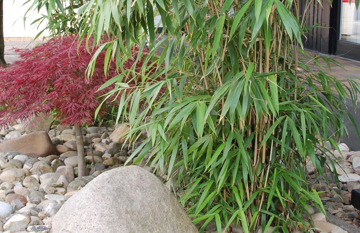 Immergrüner Bambus Als Sichtschutz