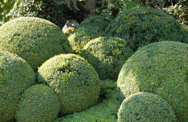 Buxus Buchsbaum Kugeln