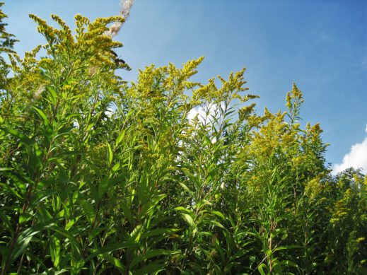 Goldrute (Solidago)