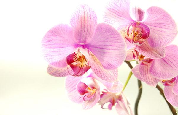 Zimmerpflanze - Orchidee