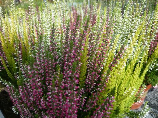 Calluna Tricolor Heide